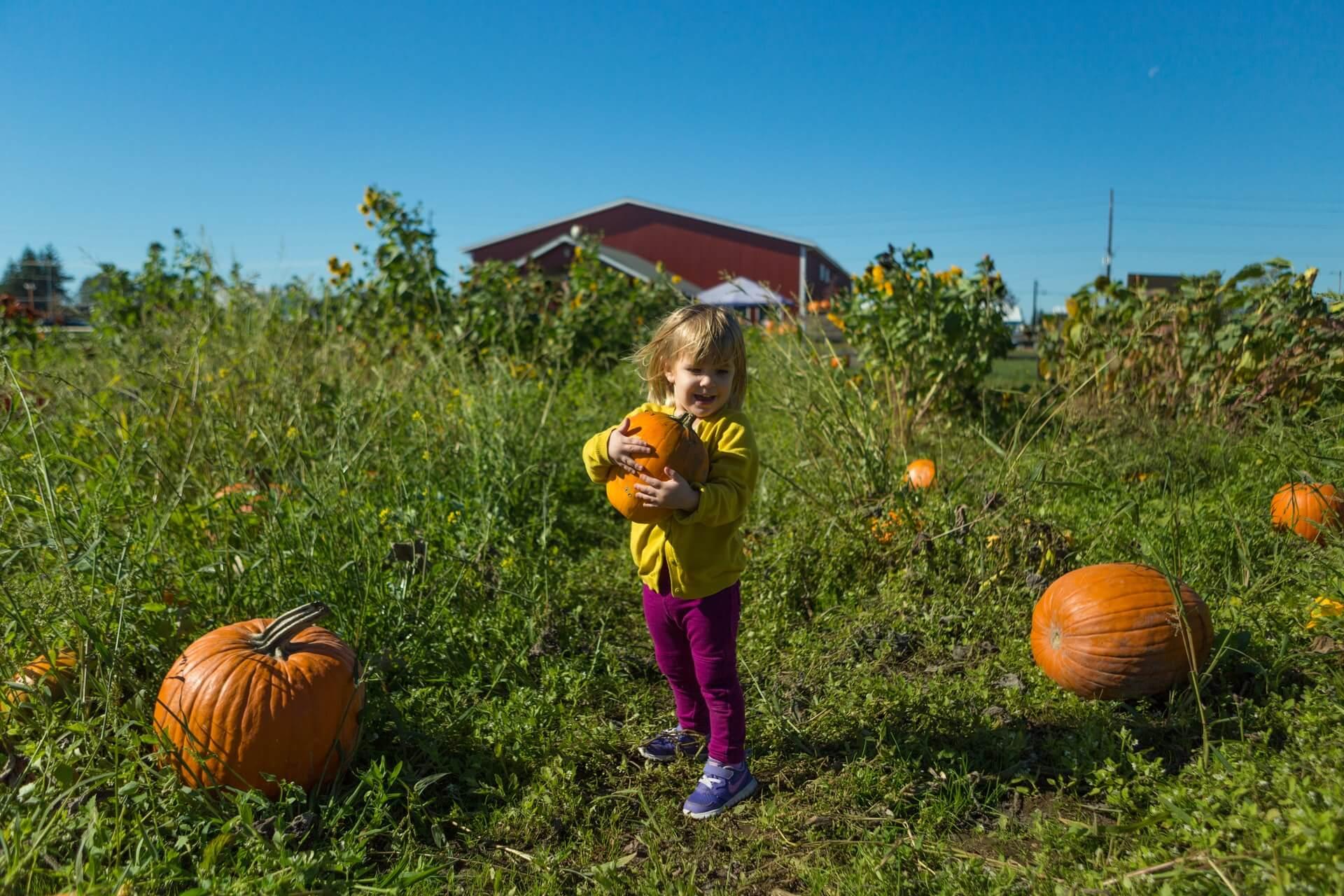 Pumpkins near Lynden, WA